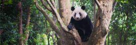 Chine: un 'parc à pandas' presque aussi grand que la Belgique sera aménagé d'ici 2023