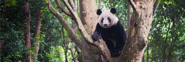 Chine : un 'parc à pandas' presque aussi grand que la Belgique sera aménagé d'ici 2023