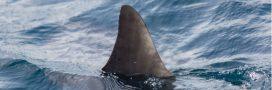 En Australie, les filets anti-requins tuent plus d'espèces menacées que de requins