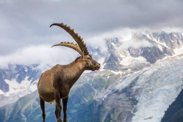 bouquetin, faune alpine
