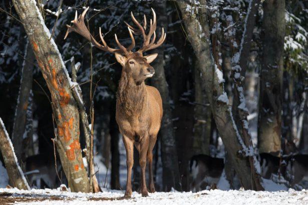 faune alpine, cerf