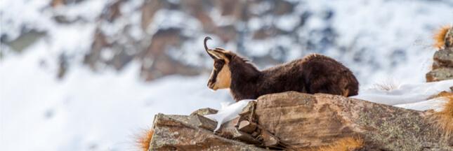 Les animaux sauvages des régions alpines décimés par l'hiver