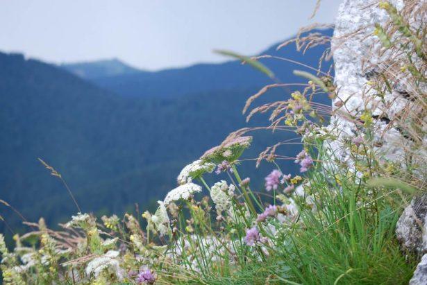 Fleurs , plantes montagne