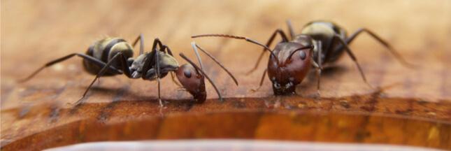Sondage - Des fourmis chez vous ? Quelles sont vos astuces pour les repousser ?