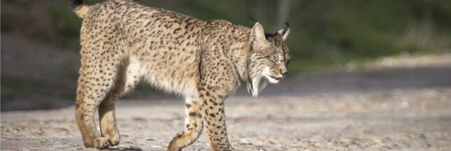Espagne: 50.000 lapins relâchés en cinq ans pour sauver le lynx ibérique