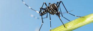 Éradication accidentelle du moustique-tigre sur une île du Pacifique
