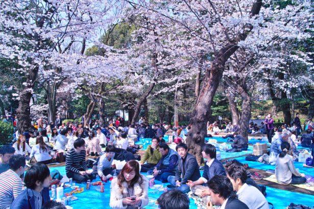 sakura ohanami