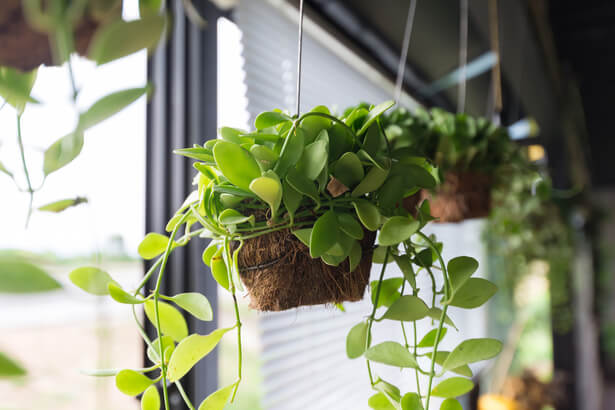 plantes fleuries d'intérieur