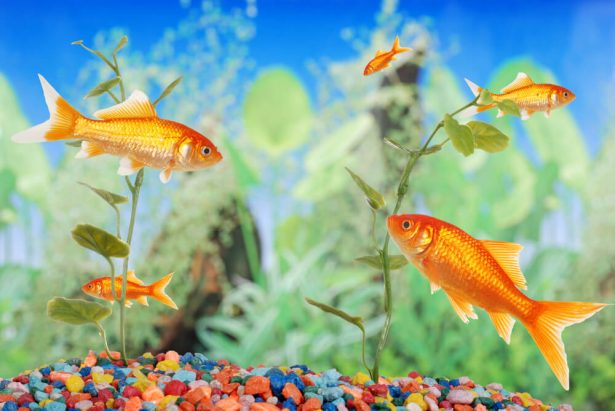 Pourquoi d tenir un poisson rouge dans un bocal est inhumain for Poisson rouge a donner