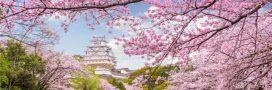 Les cerisiers du Japon fleuriront-ils bientôt deux fois par an?