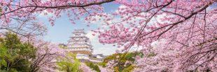 Les cerisiers du Japon fleuriront-ils bientôt deux fois par an ?