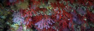Le corail rouge en danger au large de la Catalogne