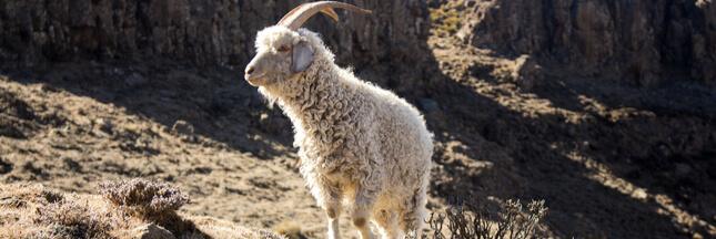 Bien-être animal : Gap, Zara et H&M renoncent à la laine mohair