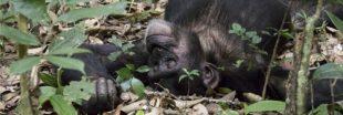 Les nids de chimpanzés sont beaucoup moins sales que nos lits
