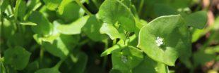 Légumes oubliés: la claytone de Cuba pour des salades gourmandes