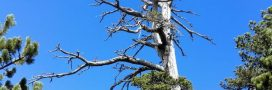 L'arbre le plus vieux d'Europe pousse en Italie