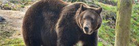 Bientôt de nouveaux ours dans les Pyrénées