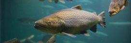 Les poux de mer, la malédiction des saumons