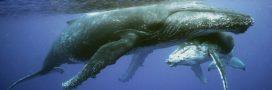 Le Japon tue 122 baleines en période de gestation