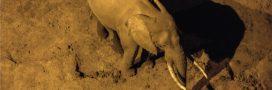 Les mammifères deviennent noctambules pour échapper aux humains