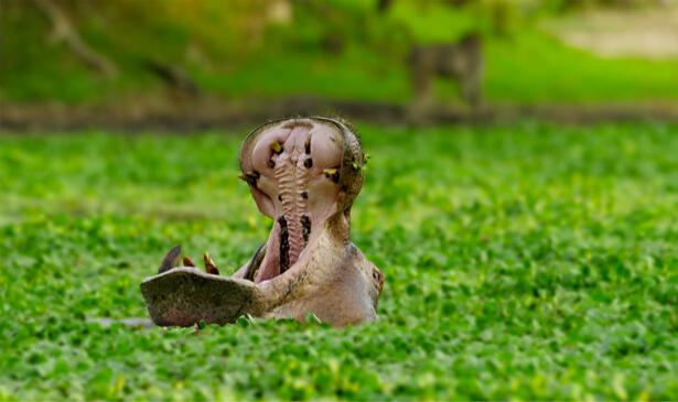 hippopotames zambie