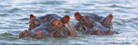 Une carte blanche pour les chasseurs de trophées d'hippopotames en Zambie!