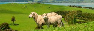 La Nouvelle-Zélande met au point une génération de moutons plus 'propres'