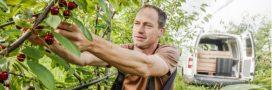 Recrudescence des vols de cerises dans les vergers