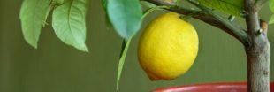 Semer des pépins d'agrumes: la méthode