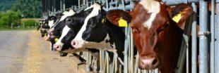 Quand la viande et le lait polluent plus que le pétrole...