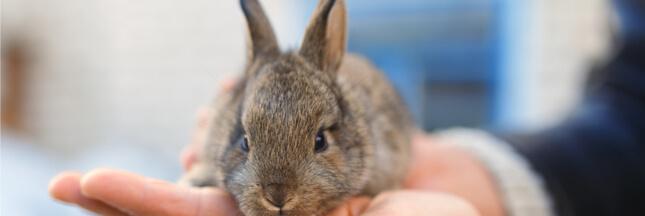 La domestication des lapins leur ramollit le cerveau