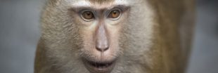Expérimentation animale: y a-t-il une retraite pour les singes de laboratoire?