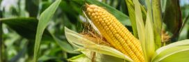 Du maïs OGM cultivé illégalement en Belgique?