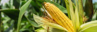 Du maïs OGM cultivé illégalement en Belgique ?