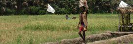 Le berceau du riz se trouve en Afrique de l'Ouest