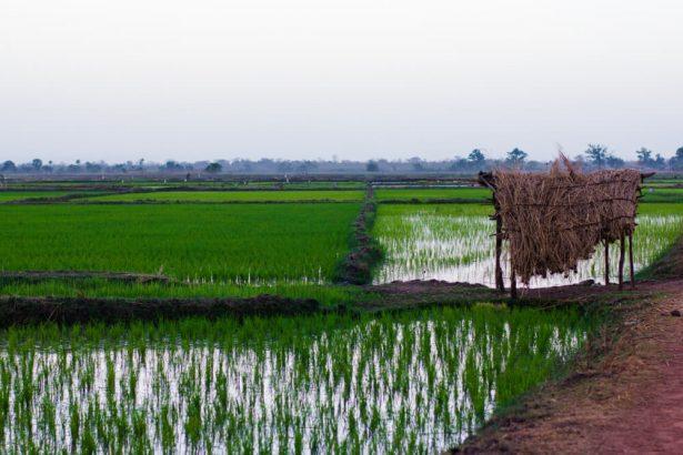 riz afrique