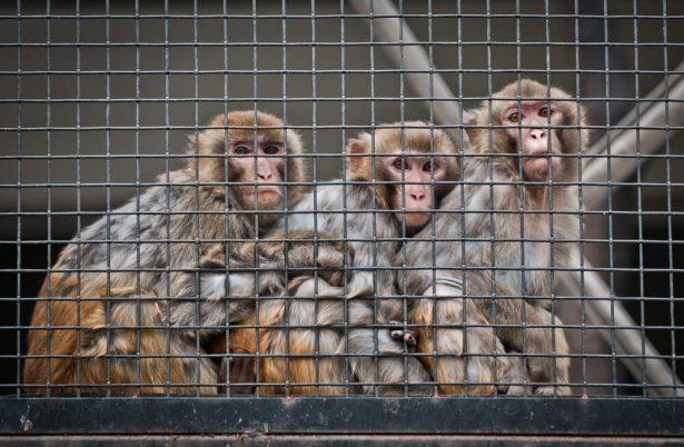 singes laboratoires