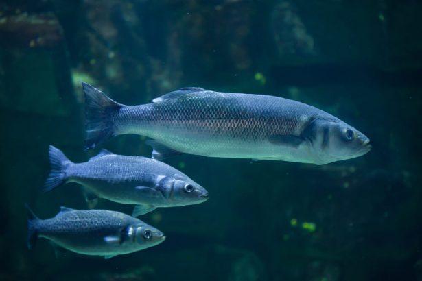 odorat poissons