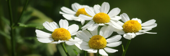 Chamomile: What health and beauty benefits?