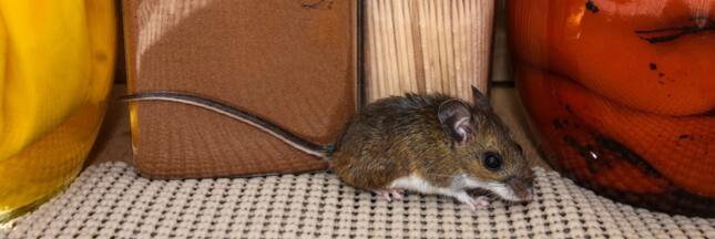 8 astuces naturelles contre les souris. Black Bedroom Furniture Sets. Home Design Ideas