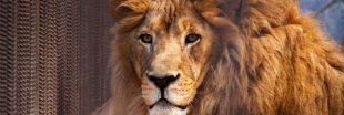 L'Afrique du Sud double ses exportations légales d'os de lions vers l'Asie !
