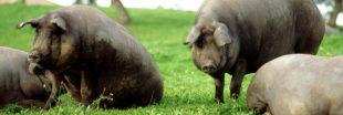 L'Espagne compte désormais plus de porcs que d'habitants