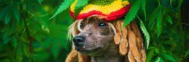 C'est prouvé: le reggae adoucit les chiens