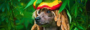 C'est prouvé : le reggae adoucit les chiens