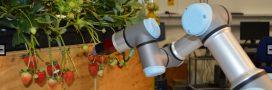 Des robots  pour remplacer les saisonniers dans les champs après le Brexit!