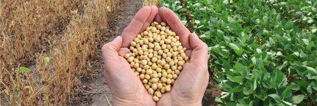 Le soja américain, un danger pour les agriculteurs et les consommateurs européens ?