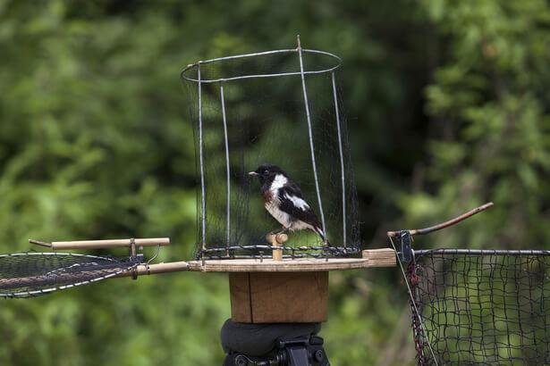 piégeage oiseau