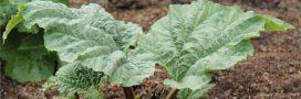 Que faire avec les feuilles de rhubarbe à la maison et au jardin?