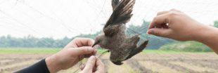 Le piégeage cruel de milliers d'oiseaux reste autorisé