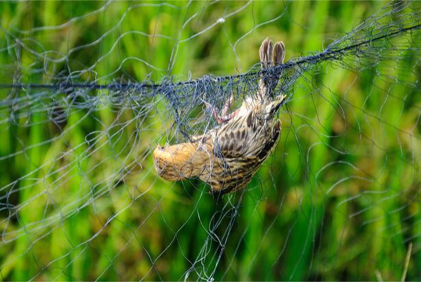 piégeage oiseaux